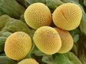 Egyre több a pollen a levegőben